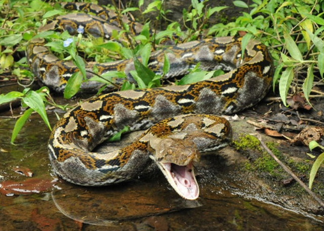 Самые большие змеи фото - Сетчатый питон